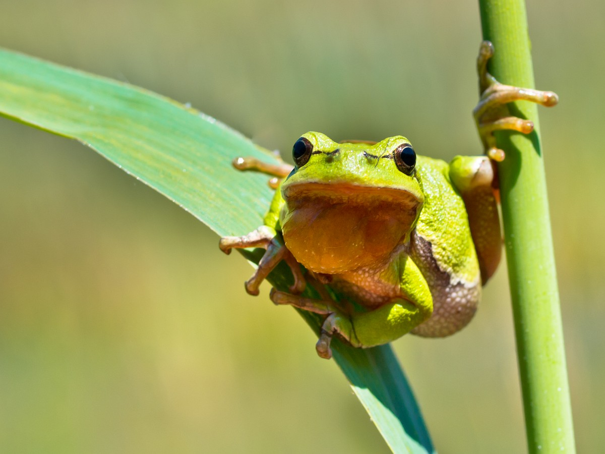 White Lipped Tree Frog The Animal Files