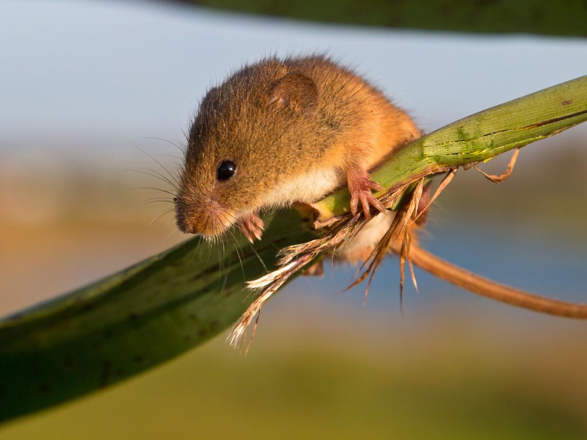 Micromys minutus, Harvest Mouse