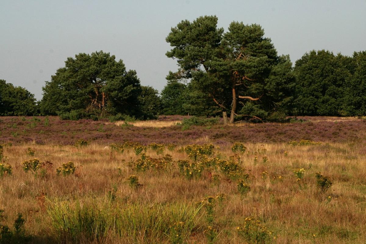 NL, Drenthe, Borger-Odoorn, Buinerzand 1, Saxifraga-Hans Boll.jpg