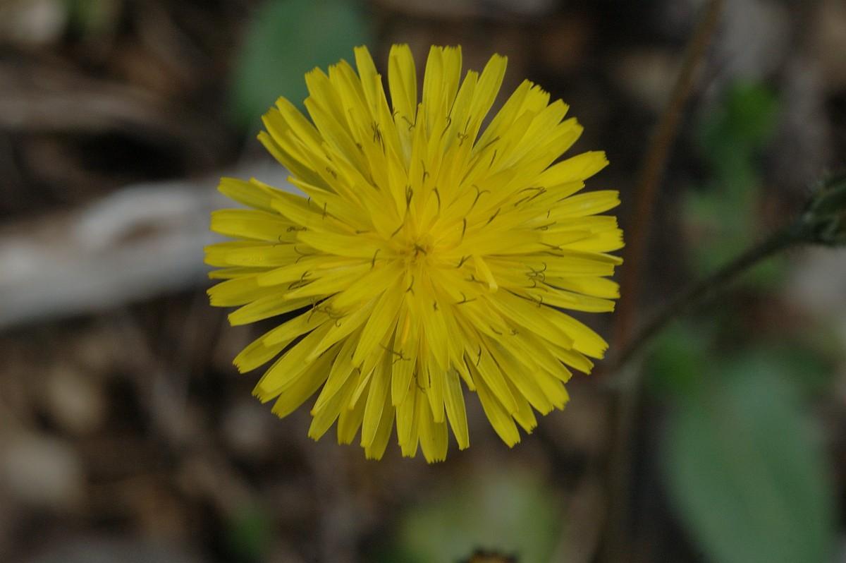 Crepis nemausensis - Crepis