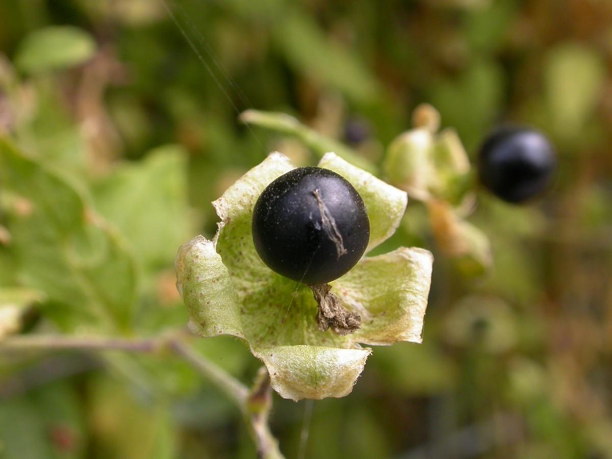 Cucubalus Baccifer Berry Bearing Catchfly