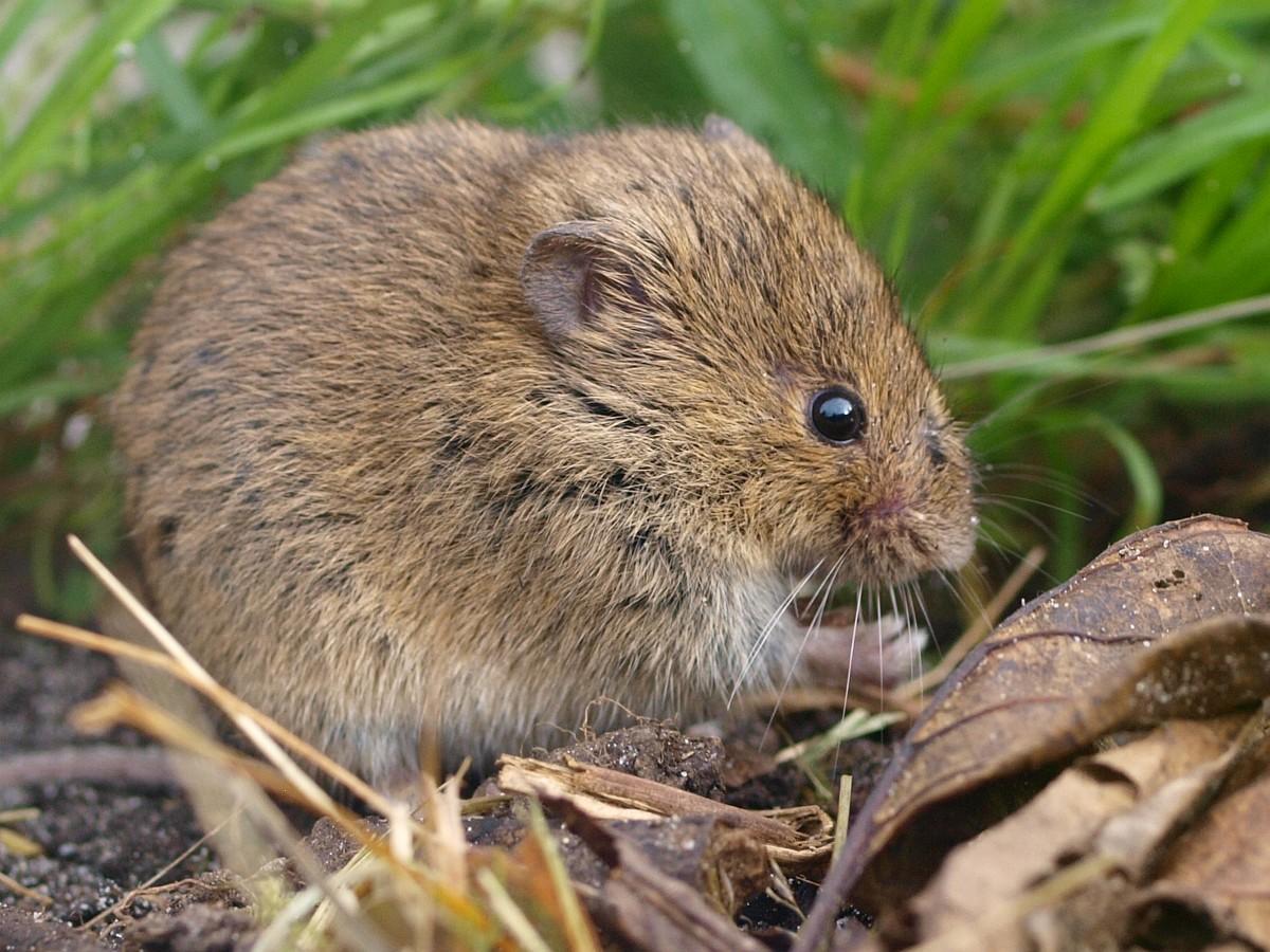 Woodland vole - Wikipedia