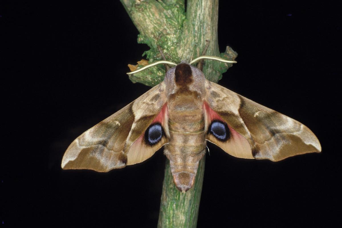 Privet hawk moth