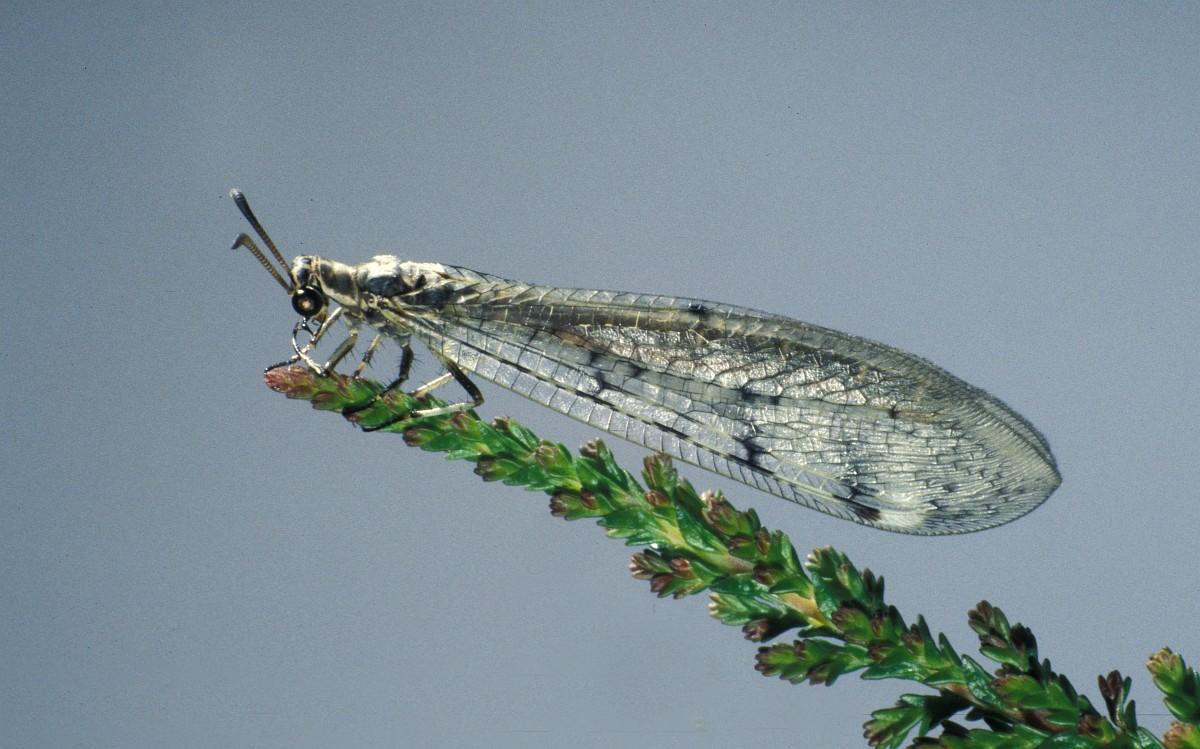 Bộ sưu tập côn trùng 2 - Page 26 Euroleon%20nostras%201,%20Saxifraga-Frits%20Bink