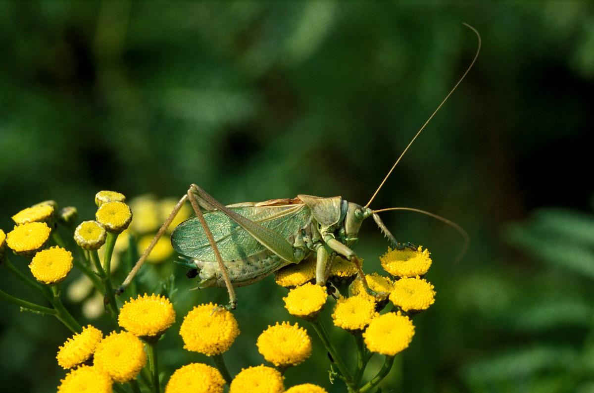 Tettigonia cantans upland green bush cricket tettigonia cantans 3 kleine groene sabelsprinkhaan saxifraga robert ketelaarg altavistaventures Image collections