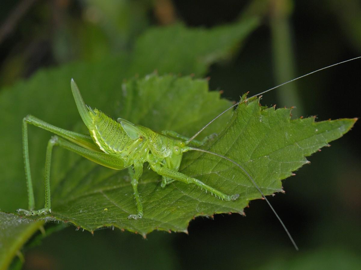 Tettigonia viridissima great green bush cricket tettigonia viridissima 18 grote groene sabelsprinkhaan saxifraga ab h baasg altavistaventures Image collections
