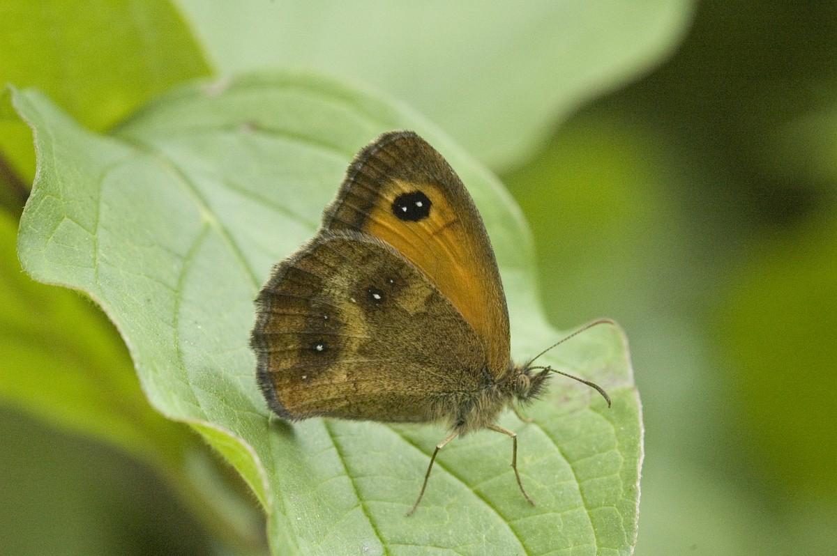 Pyronia tithonus, Gate Keeper