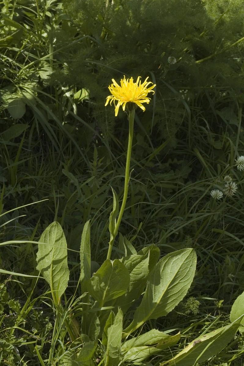 Crepis bocconei - Crepis