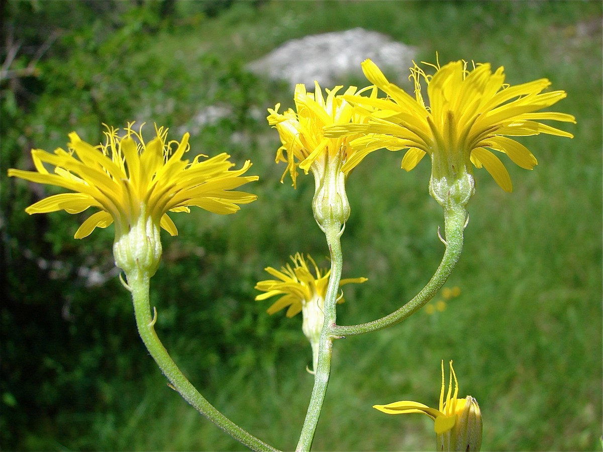 Crepis pannonica - Crepis