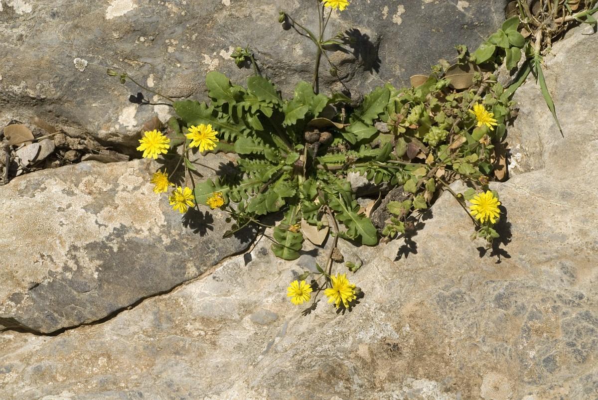 Crepis sancta - Crepis
