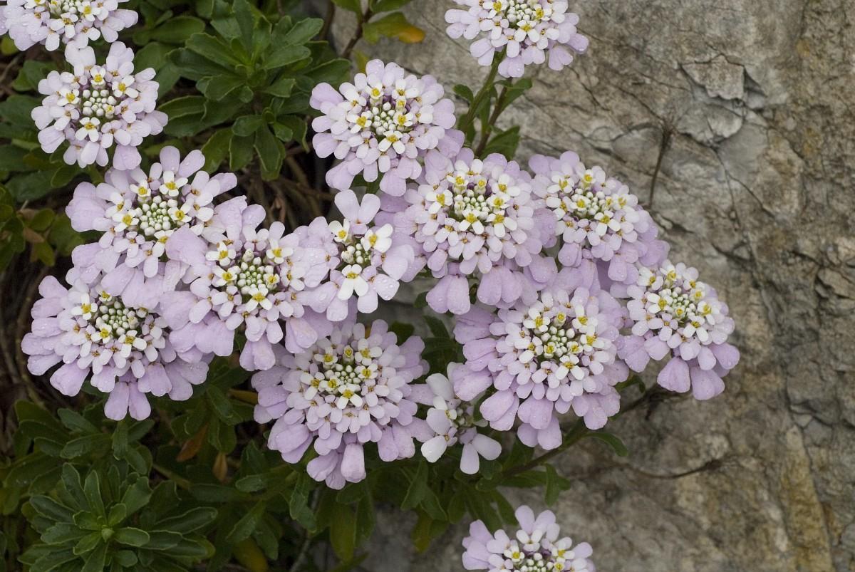Иберис цветы выращивание 68