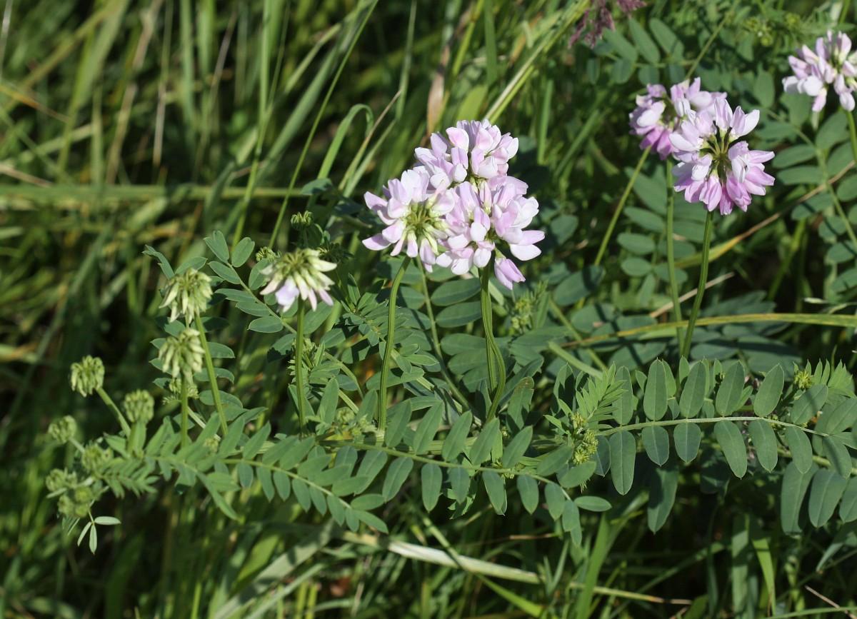 Securigera varia crown vetch securigera varia 12 bont kroonkruid saxifraga peter meiningerg izmirmasajfo