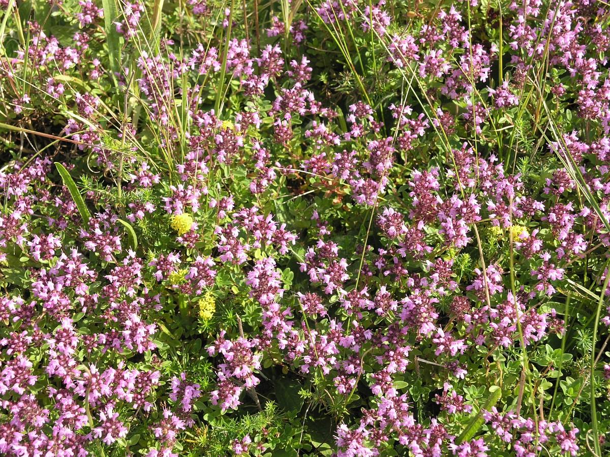 Цветок тимьян фото и описание